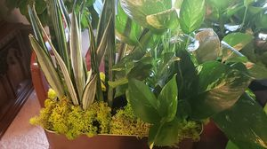Snake plant and golden pot in golden container for Sale in Hyattsville, MD