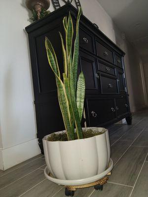 Snake plant for Sale in Phoenix, AZ