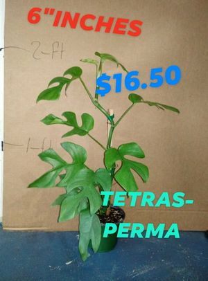 Tetrasperma$16.50 for Sale in Woodburn, OR