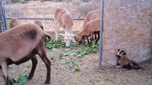 Goats for Sale in Nuevo, CA