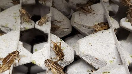 Crickets for Sale in Mulberry,  FL