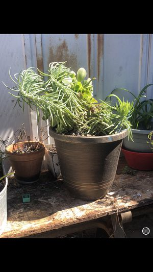 Two very large pots with variety of succulents for Sale in Loma Linda, CA