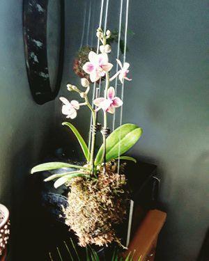 Kokedama plants for Sale in Aurora, CO