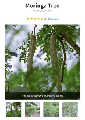 Moringa seeds (10 )pieces for $ 18.00 dollars for Sale in Dunedin, FL