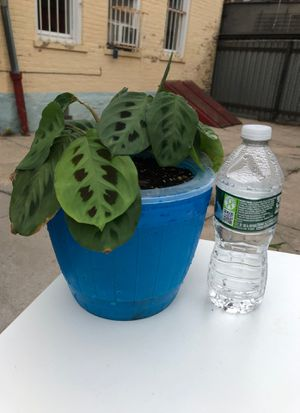 """Prayer plant in 6"""" self-water pot for Sale in Queens, NY"""