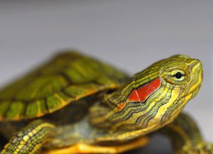 Red earslider turtles for Sale in Severn, MD