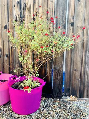 Large Red Sage / Salvia ~ Attracts Hummingbirds, Butterflies & Bees to your garden! Red Flowers for Sale in Etiwanda, CA