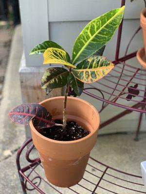 Garden Croton Plant for Sale in Darien, IL