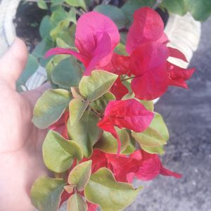 Flower Plant In Broken Pot $50firm As Is. for Sale in Fort Lauderdale, FL