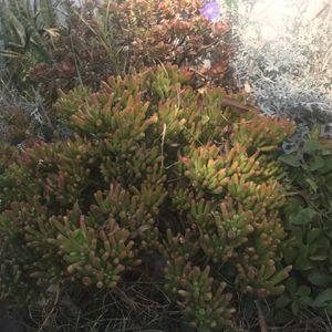 Large Succulent Bush for Sale in Long Beach, CA