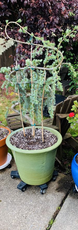 Live outdoor Blue Atlas Cedar tree plant in a textured ceramic planter pot—firm price for Sale in Seattle, WA