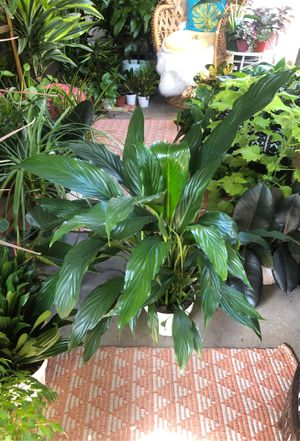 Peace Lily plant for Sale in Imperial Beach, CA