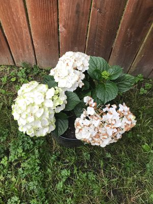 White hydrangea plant for Sale in Algona, WA