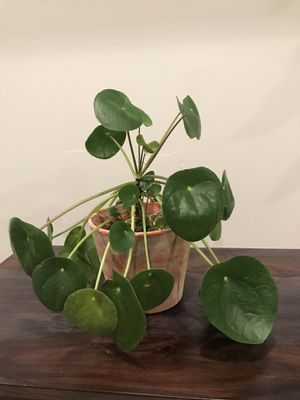 Pilea Peperomiodes (Chinese Money Plant or Pancake Plant) for Sale in Berwyn Heights, MD