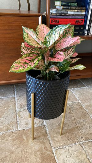 """6"""" Pink Evergreen with Metal Plant Holder for Sale in Del Mar, CA"""