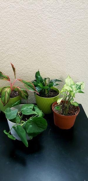 4 live indoor houseplants for Sale in Chandler, AZ