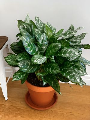 "Huge 14"" Variegated Indoor Plant in Terra Cotta pot (includes saucer) for Sale in New York, NY"