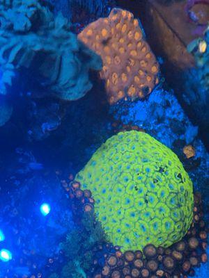 Brain coral for Sale in Addison, IL