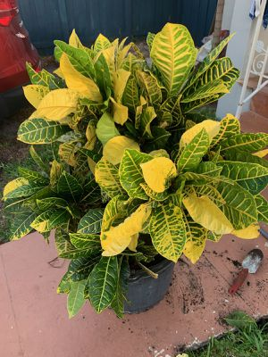 Croton plant (Bundle of 3 in one pot) for Sale in Miami Springs, FL