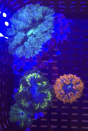 Rock Flower Anemone Rainbow Ricordea Gold Pink Frogspawn Salt Water Corals Frags and more fish tank decorations for Sale in Phoenix, AZ