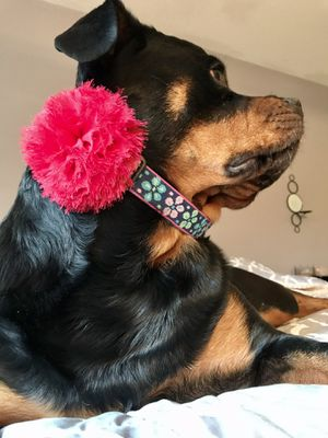 Dog Bows! Collar Accessories! For Any Dog! for Sale in Lynnwood, WA