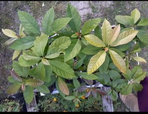 Haitian Avocado tree for Sale in Kissimmee, FL