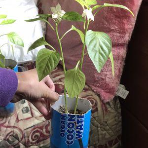 Green Bell Pepper plants for Sale in Portsmouth, VA
