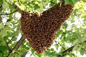 Free bee swarm removal and 40 dollars reword for Sale in Pasco, WA