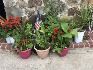 Plants galore firecrackers tomatoes rosemary elefantt ears geranium all kinds of mixes 3.00 each large pots pictures are what is left for Sale in St. Petersburg, FL