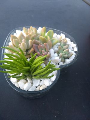 Lucky plants succulent for Sale in Clermont, FL