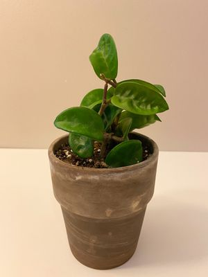 Potted Hoya Krinkle 8 Indoor Plant for Sale in Pico Rivera, CA