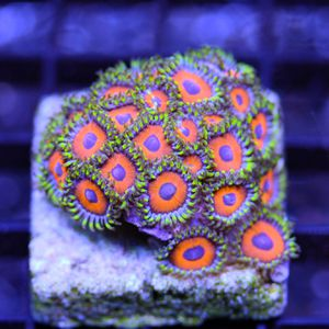 Saltwater Coral for Sale in Brunswick, OH