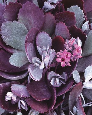 Silver Gray - Kalanchoe pumila Succulent Plant PICK UP: $4 each (SHIPPING: $6 each or 3 for $14) for Sale in City of Industry, CA
