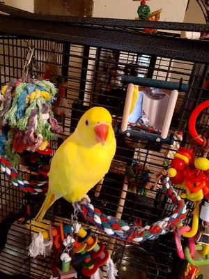 1 1/2 year old. Male Indian ringneck (Niko) for Sale in Palm Harbor, FL