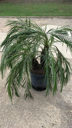 Pygmy date palm for Sale in GA, US