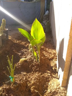 Plants for sell for Sale in Avondale, AZ