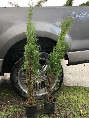 Arborvitae 4 feet's for Sale in Woodburn, OR