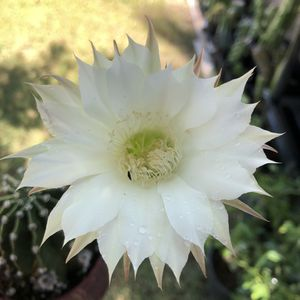 Cactus Plant Echinopsis Easter Lily Succulent for Sale in Chandler, AZ