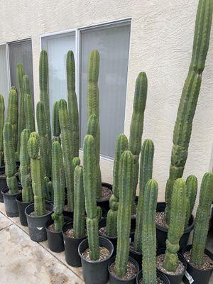 San Pedro cactus (Echinopsis Pachanoi) for Sale in Spring Valley, CA