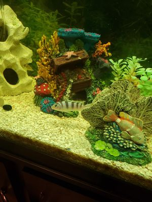 African Cichlid for Sale in Rio Rancho, NM