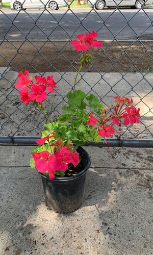Geranium Plant for Sale in Fresno, CA