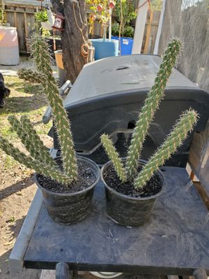 Cactus plants for Sale in Livingston, CA