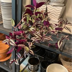 Tradescantia Zebrina Plant for Sale in Damascus,  OR