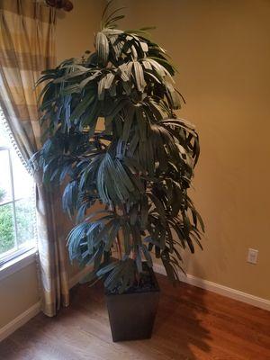 Silk tree 6 feet tall for Sale in Sudbury, MA