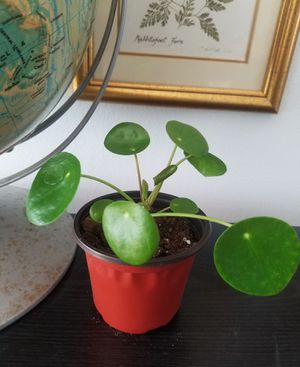 Small pilea peperomioides plant aka money plant houseplant indoor plant live plant for Sale in Des Plaines, IL