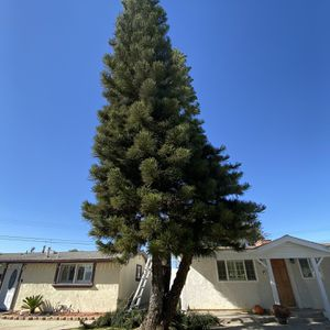 Free Fresh Cut Pine Branches For Christmas Wreath for Sale in La Mirada, CA