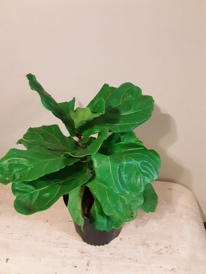 Fiddle leaf fig plants 3 gallons pot 2ft 3 inches tall for Sale in Chula Vista, CA