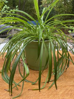 Live Spider Plant With Babies for Sale in Herndon,  VA