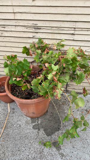 Grapevine green grapes for Sale in San Jose, CA