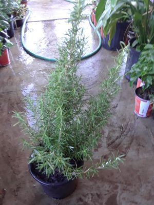 Rosemary $15 for Sale in Modesto, CA